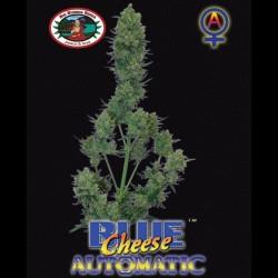 Blue Cheese auto - Big Buddha Seeds