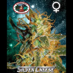 Silver Cheese fem - Big Buddha Seeds