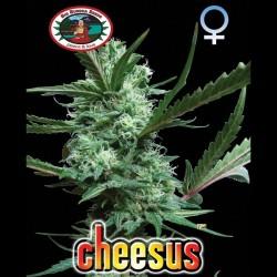 Cheesus fem - Big Buddha Seeds