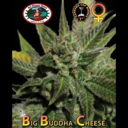 Big Buddha Cheese fem - Big Buddha Seeds