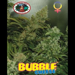 Bubble Cheese fem - Big Buddha Seeds