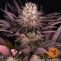 Mimosa x Orange Punch fem - Barney's Farm