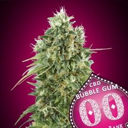 Bubble Gum CBD fem - 00 Seeds