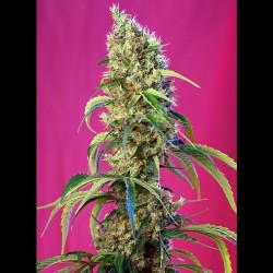 Black Jack CBD fem - Sweet Seeds