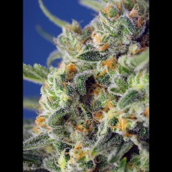 Sweet Pure CBD fem - Sweet Seeds
