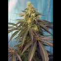 Cream Caramel CBD fem - Sweet Seeds