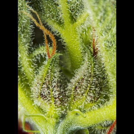 Cream Mandarine XL auto - Sweet Seeds