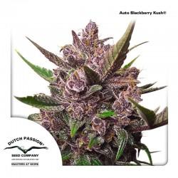 Blackberry Kush auto - Dutch Passion
