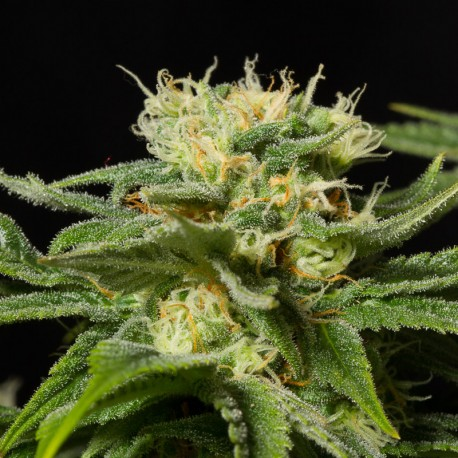 California Hashplant fem - Dinafem