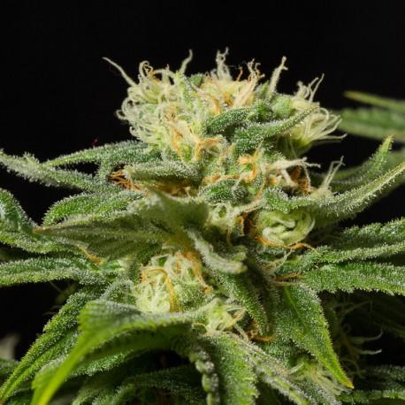 California Hashplant fem
