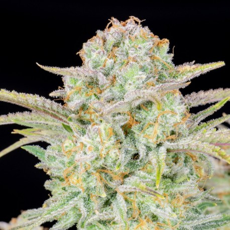 Bruce Banner auto - Fast Buds
