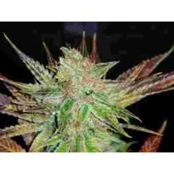 Prozac fem - Medical Seeds