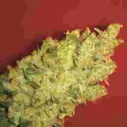 Jack La Mota fem - Medical Seeds
