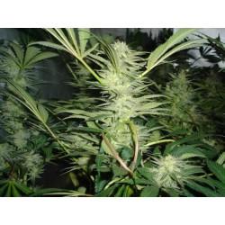 White Widow fem - Medical Seeds