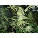 WHITE WIDOW FEM.medical seeds